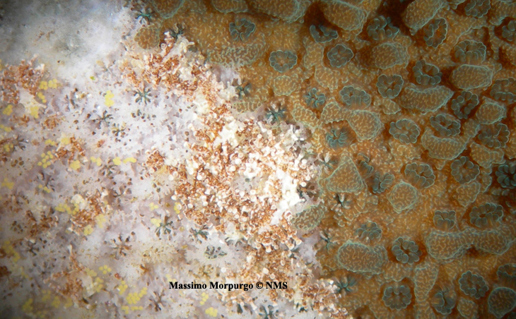 Morpurgo_Montipora_eating_nudibranchs