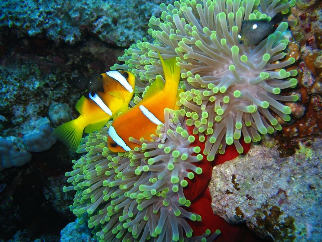 anemone Radianthus magnifica e pesci pagliaccio amphiprion