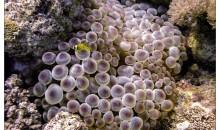 Gli anemoni di mare stanno ingerendo le microfibre di plastica