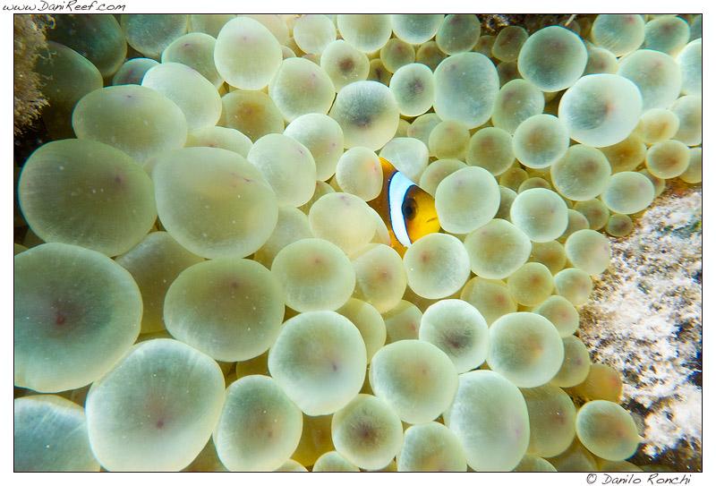 Ancora Amphiprion bicinctus ed Anemone a a Marsa Alam sulla barriera corallina del Mar Rosso (Egitto)