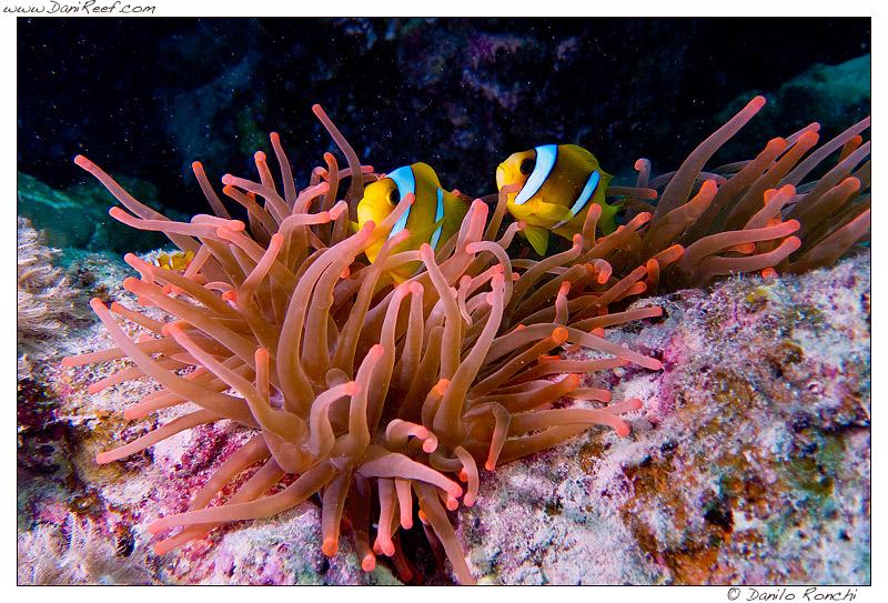 Entacmaea quadricolor e Amphiprion bicinctus a Marsa Alam sulla barriera corallina del Mar Rosso (Egitto)