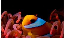 Anemoni in acquario: quasi tutto quello che c'è da sapere su di loro