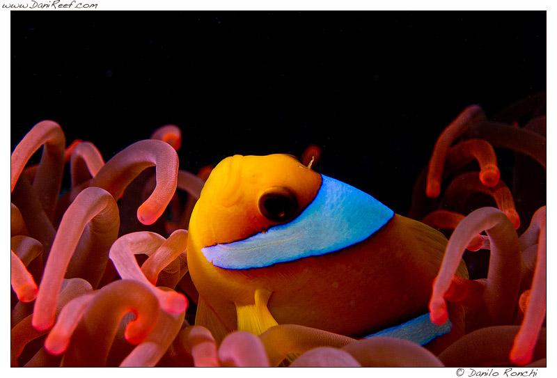 Entacmaea ed Ampiphrion bicinctus fotografati nel Mar Rosso