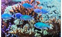 Una ricerca universitaria sottolinea i pericoli sui pesci nel Reef dovuti ad elevata temperatura