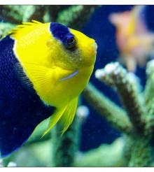 Qual'è il vostro pesce marino più vecchio? Il mio Centropyge quasi 11 anni…