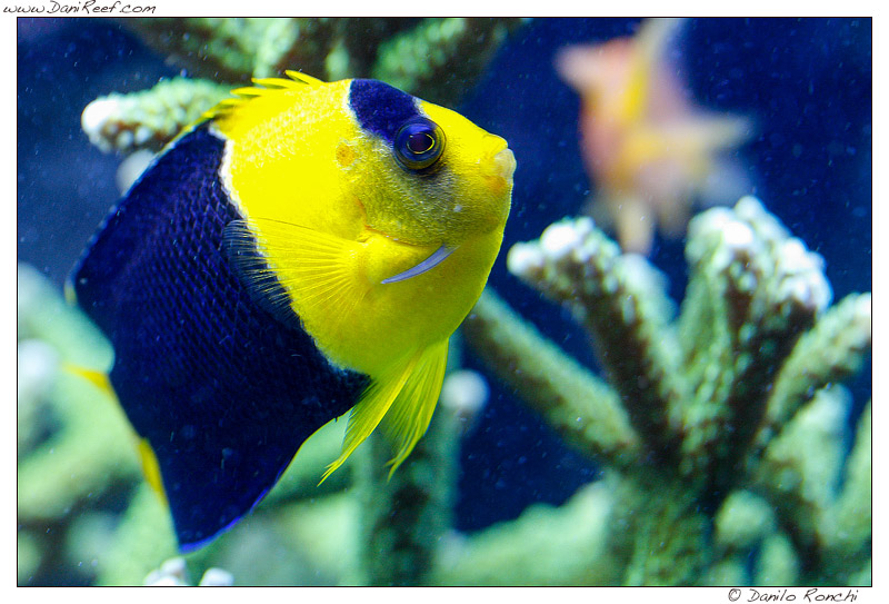 Qual'è il vostro pesce marino più vecchio? Il mio Centropyge quasi 11 anni...