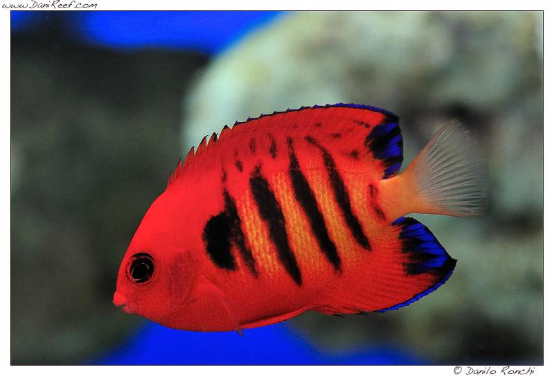 Centropyge loriculus: un altro di quei pesci che spesso viene pescato con il cianuro