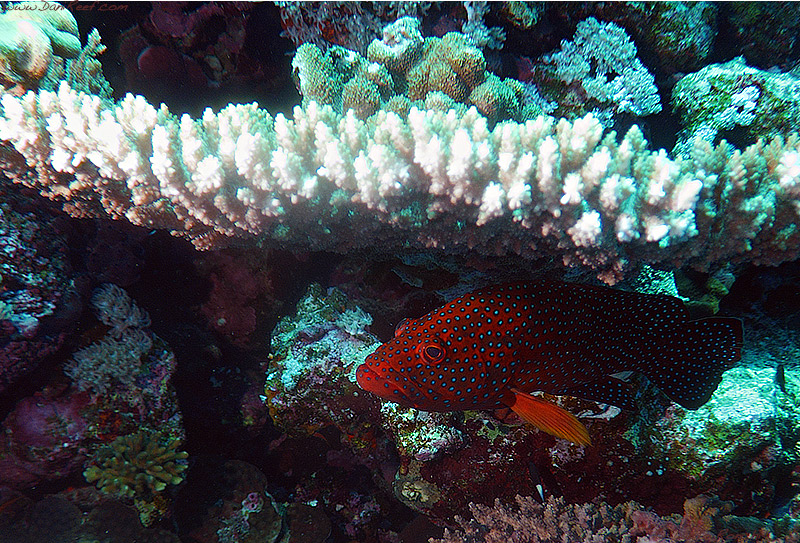 cernia dei coralli mar rosso