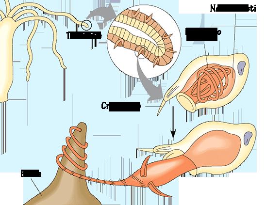 cnidocite