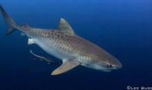 La lotta della sopravvivenza degli squali – un video tutto da guardare