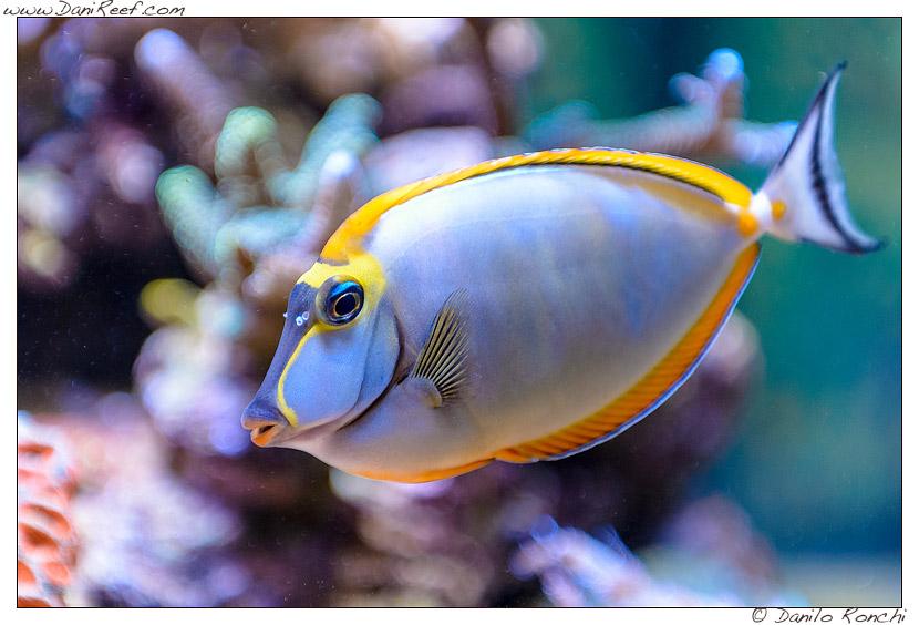 naso elegans acquario marino