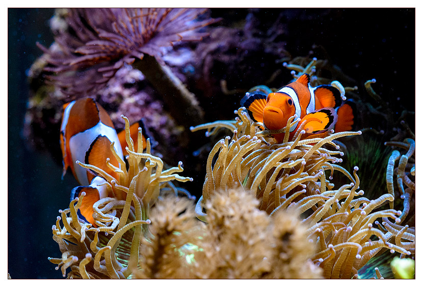 acquario marino gianluca favatà Amphiprion ocellaris simbiosi catalaphyllia pesci pagliaccio