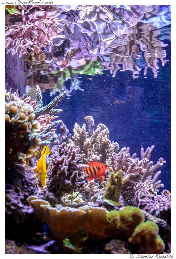 scorcio acquario marino con Zebrasoma flavescens e Centropyge loriculus e coralli sps