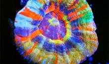 Il più bel corallo del mondo? Una Scolymia multicolor…