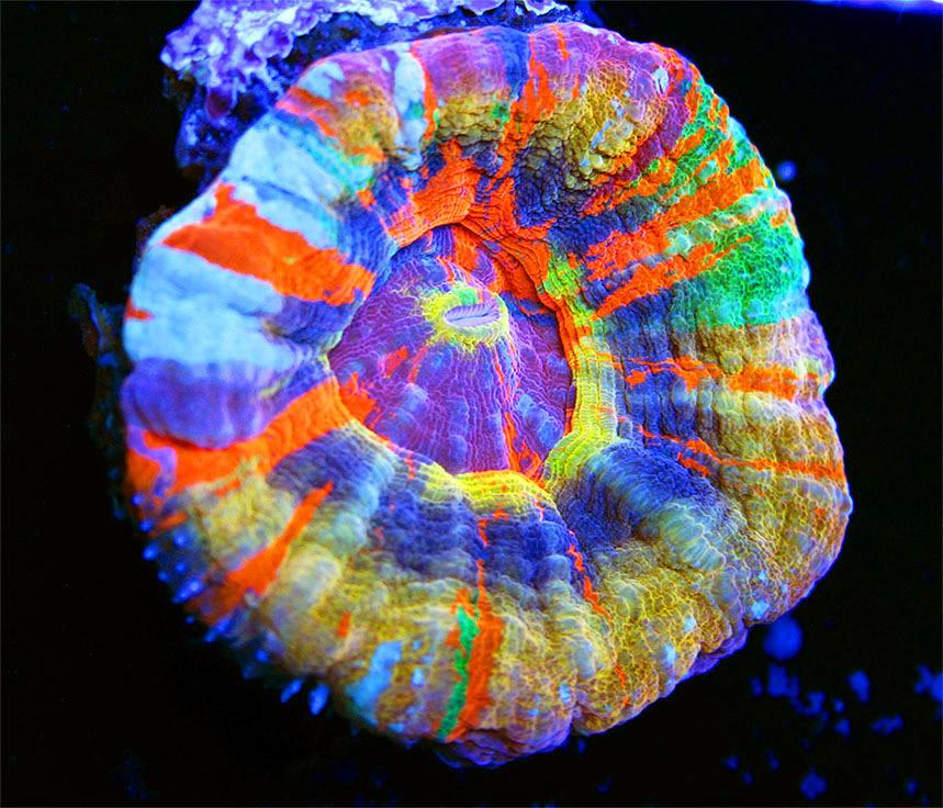 La più bella scolymia multicolor del mondo