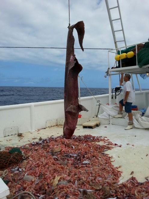 Squalo Goblin pescato a Miami