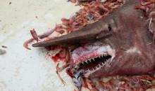 Uno squalo goblin pescato nel Golfo del Messico, a Key West