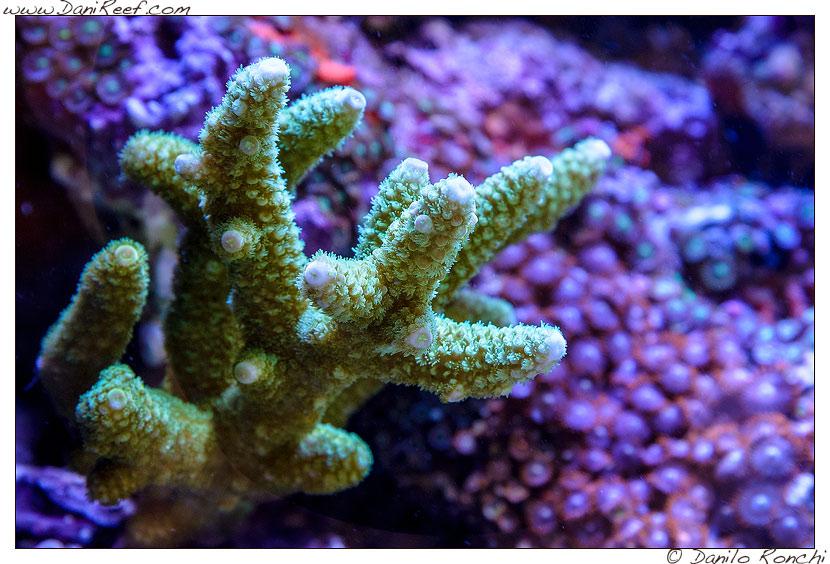 Interzoo 2014 - stand de jong marinelife - acquario di esposizione - acropora