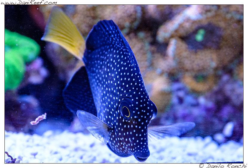 Interzoo 2014 - stand de jong marinelife - acquario di esposizione - zebrasoma gemmatum