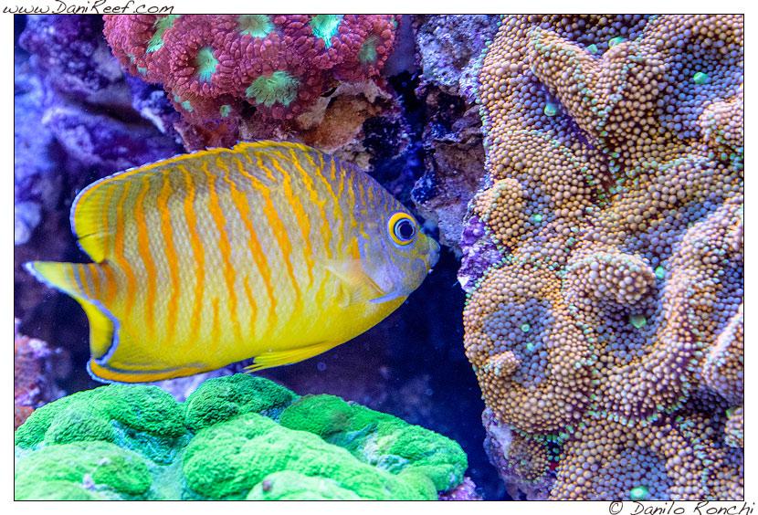Interzoo 2014 - stand de jong marinelife - acquario di esposizione - centropyge