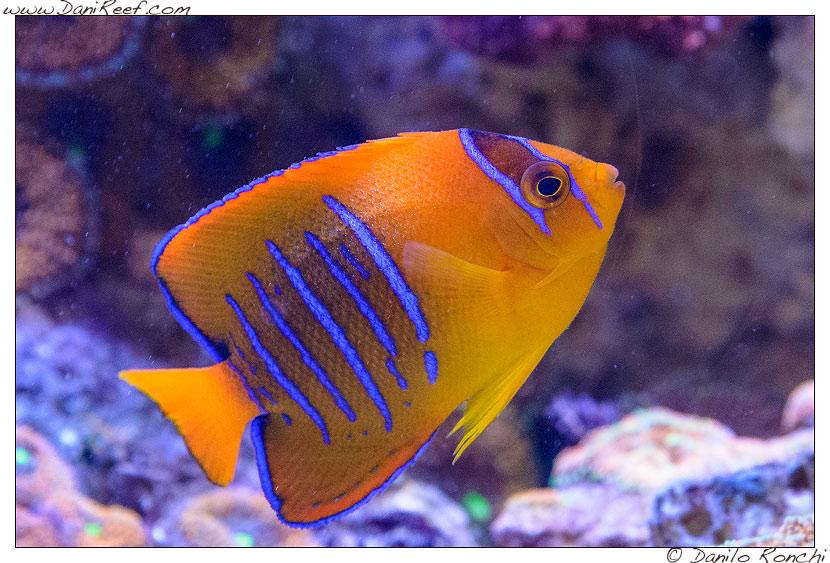 Interzoo 2014 - stand de jong marinelife - acquario di esposizione - holacanthus clarionensis