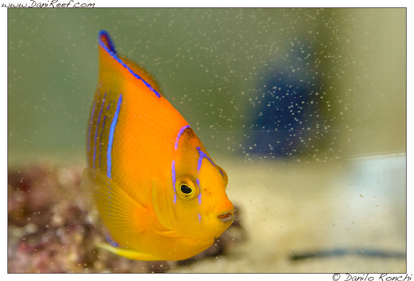 Interzoo 2014 - stand de jong marinelife - holacanthus clarionensis