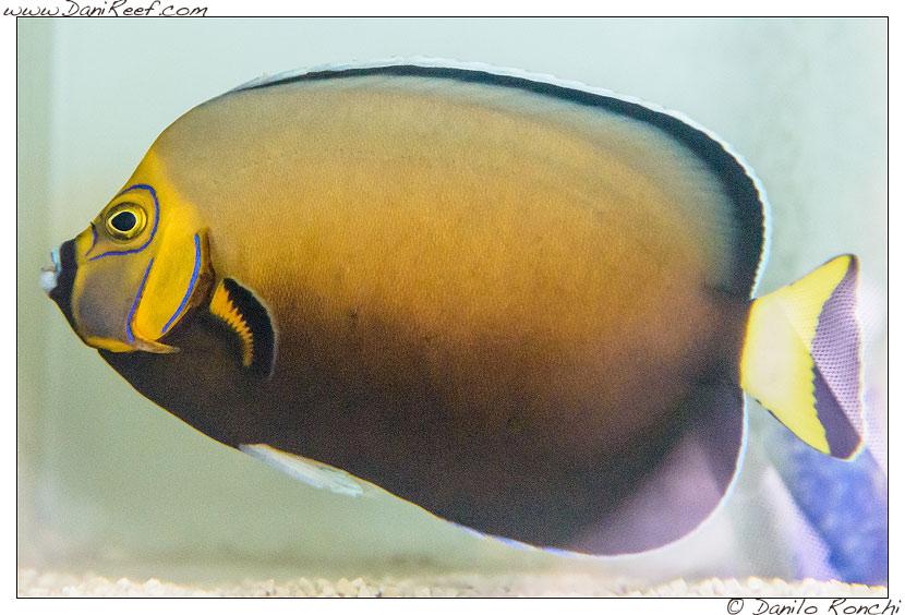 Interzoo 2014 - stand de jong marinelife - chaetodontoplus conspicillatus