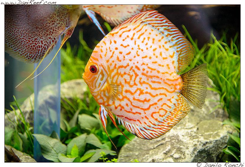 Interzoo 2014 - stand de jong marinelife - acquario di esposizione - discus