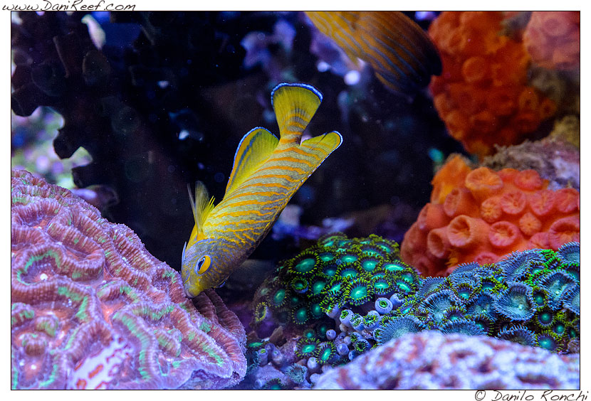 Interzoo 2014 - stand de jong marinelife - acquario di esposizione - centropyge ed lps