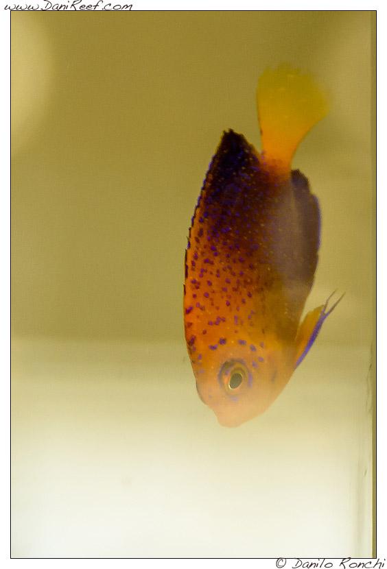 Interzoo 2014 - stand de jong marinelife - centropyge interruptus