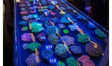 Interzoo 2014: WhiteCorals displays wonderful LPS corals!
