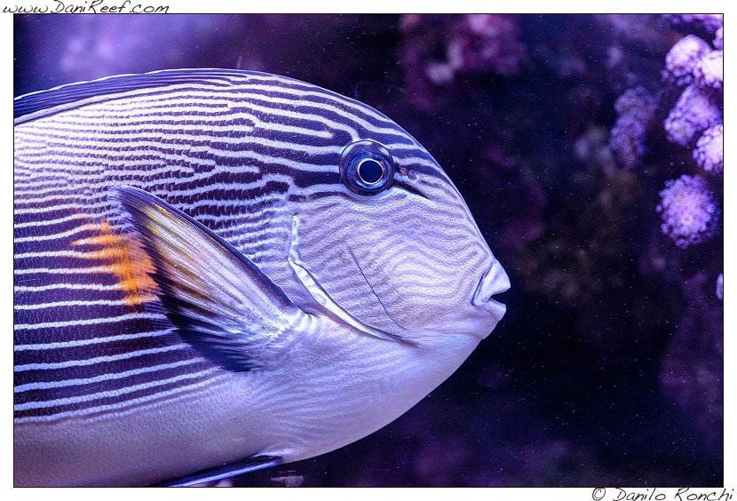 Acanthurus sohal nell'acquario marino di Pietro Romano