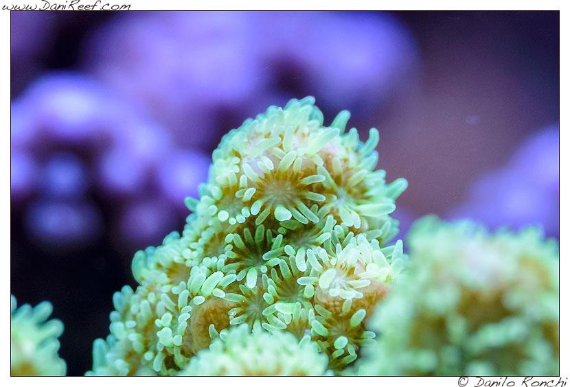 Polipi di Acropora sp. nell'acquario marino di Pietro Romano