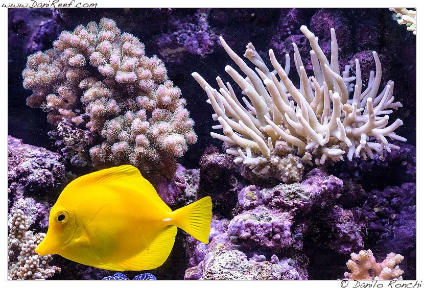 Zebrasoma flavescens e coralli nell'acquario marino di Pietro Romano
