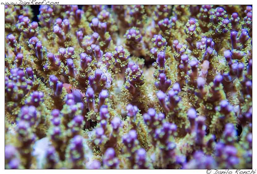Le foto delle acropore dell'acquario di Pietro Romano