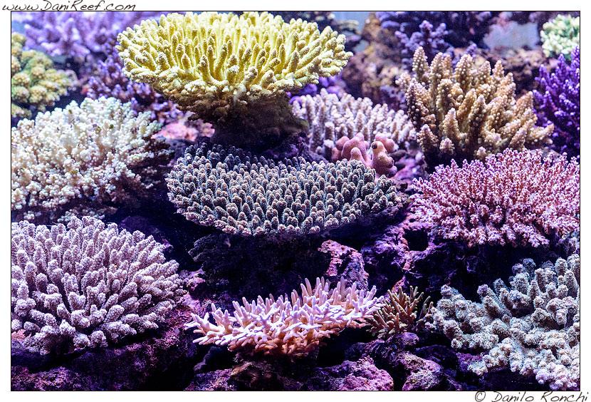 Acropore e millepore nell'acquario marino di Pietro Romano