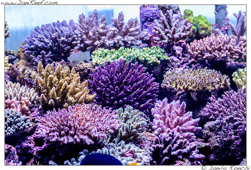 Acropore sp. nell'acquario marino di Pietro Romano