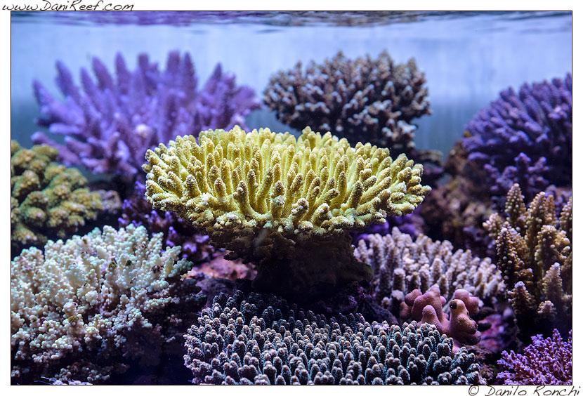 Acropora millepora gialla nell'acquario marino di Pietro Romano