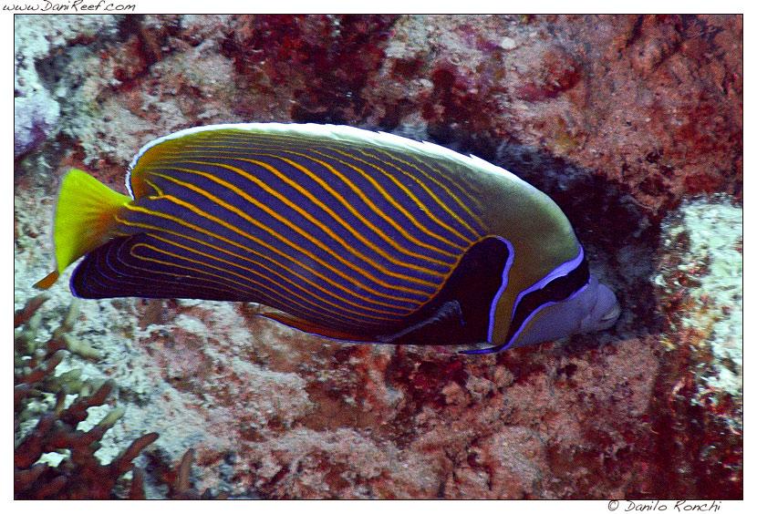 pomacanthus imperator nel mar rosso