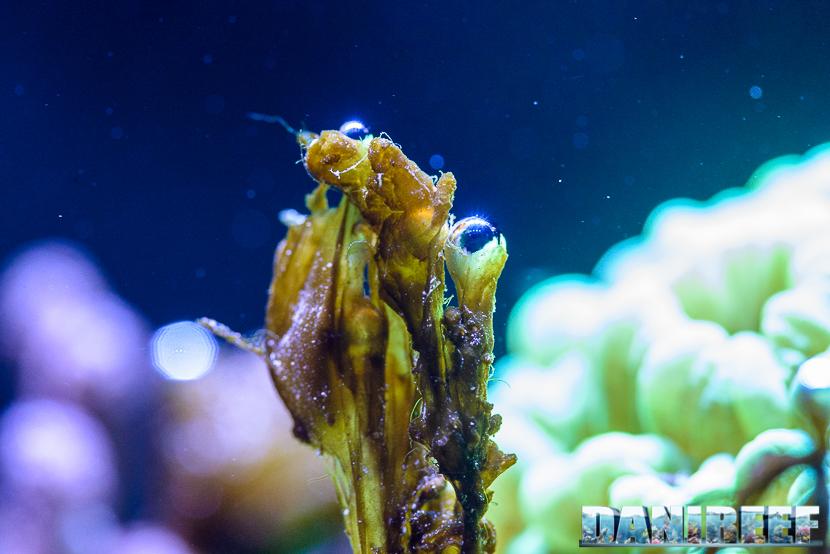Dinoflagellati in acquario marino