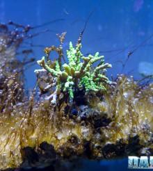 Come sconfiggere i dinoflagellati con il metodo naturale