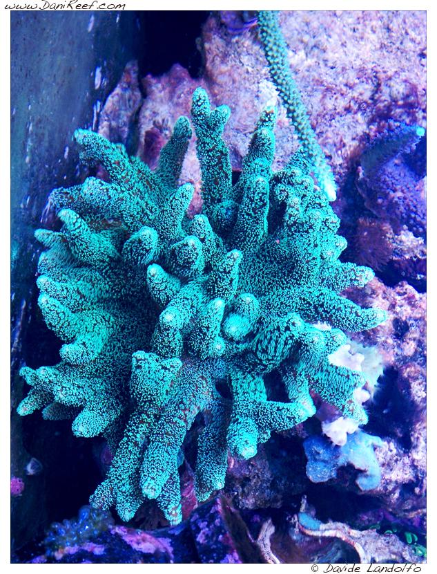 Caliendrum Super Green
