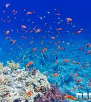alba nel mar rosso pseudanthias squamipinnis