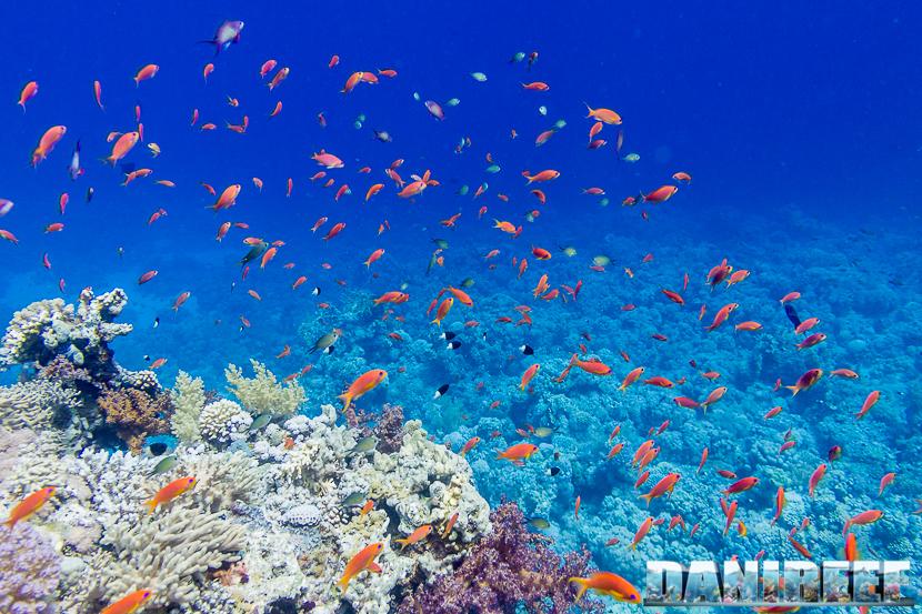 Pseudanthias squamipinnis in Mar Rosso - Marsa Alam