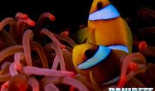 Astaxantina e colore dei pesci: studio conferma dose ottimale di 400ppm