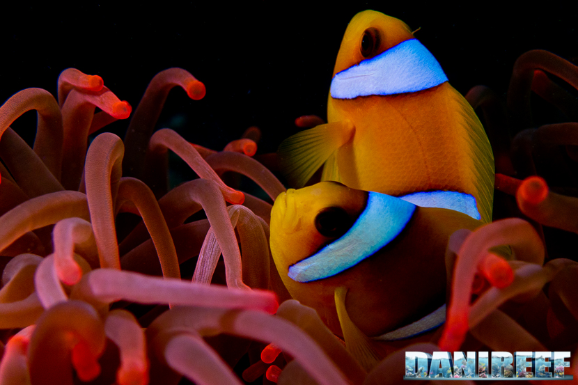ampiphrion bicinctus by danilo ronchi danireef