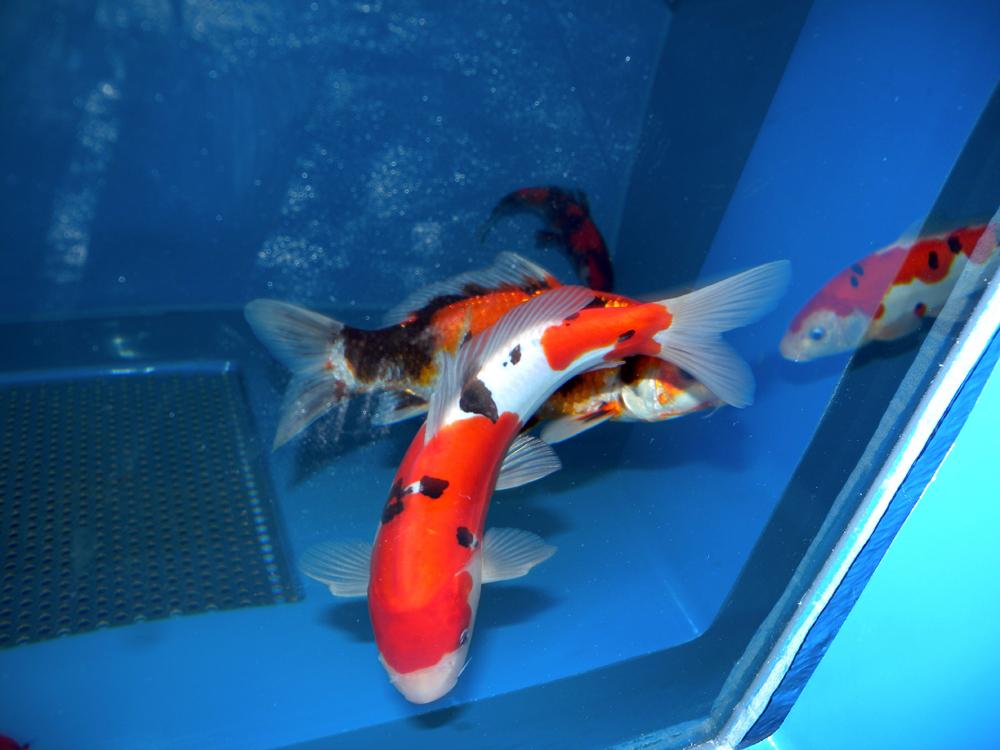 Regolare il gh in acquari di acqua dolce valori chimico for Pesci acquario