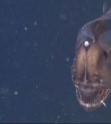 Un incredibile filmato del diavolo nero degli abissi – Melanocetus Johnsonii