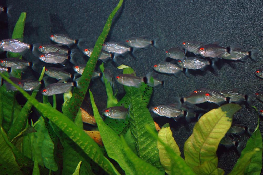 pesci in acquario di acqua dolce