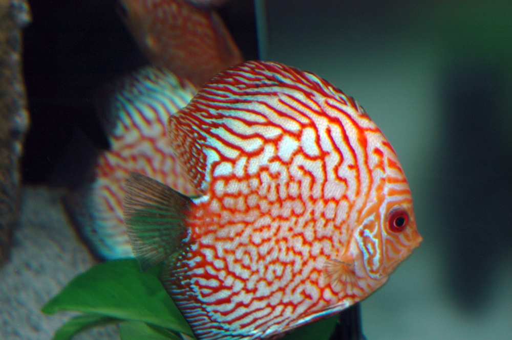 pesci in acquario di acqua dolce - discus